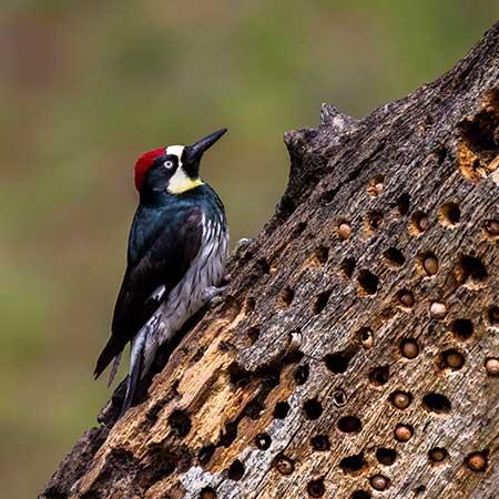 Oak Woodland Birds
