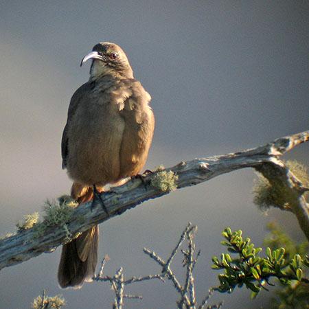 Shrubland Birds