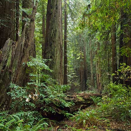 Coast Redwood Forests