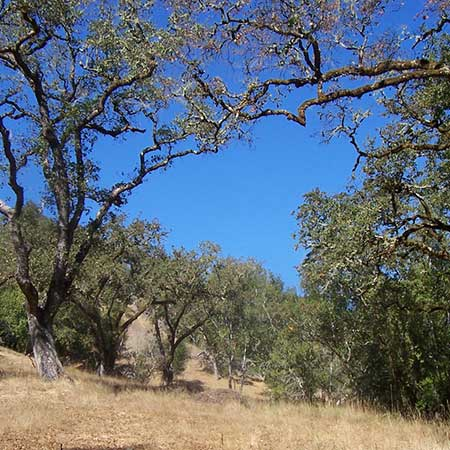 Open-canopy Oak Woodlands
