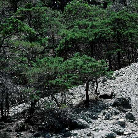 Sargent Cypress