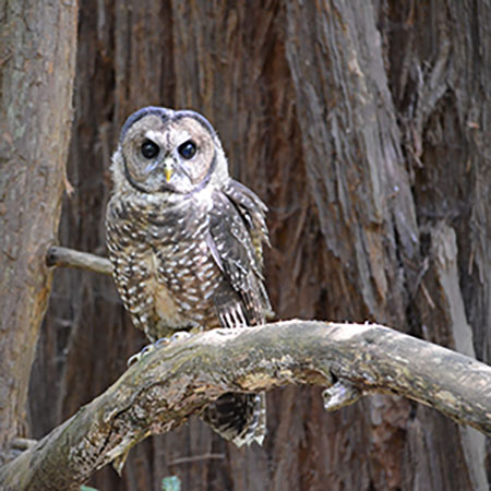 Nothern Spotted Owl