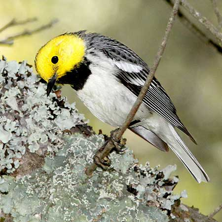 Hermit Warbler | Photo by Alan Schmierer