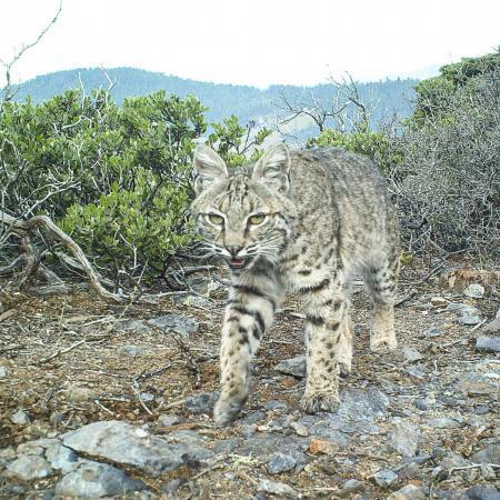 Native Mammal Diversity (Bobcat shown)