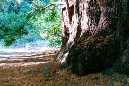Path beside the base of an enormous redwood tree